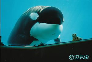 アメリカのオレゴンコースト水族館でリハビリ中のケイコ