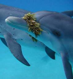 海草で遊ぶイルカ